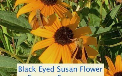 Black Eyed Susan Flower Essence Frequency